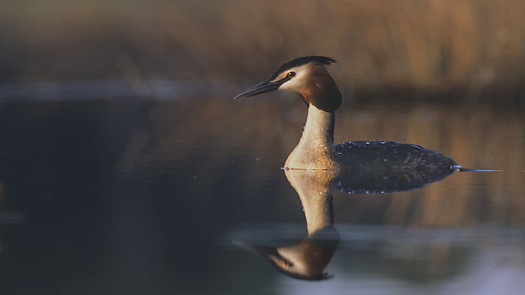 Grebe in Åland