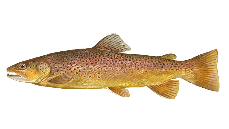 Trout in Åland